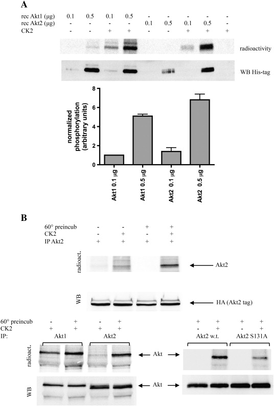 Differential phosphorylation of Akt1 and Akt2 by protein kinase CK2