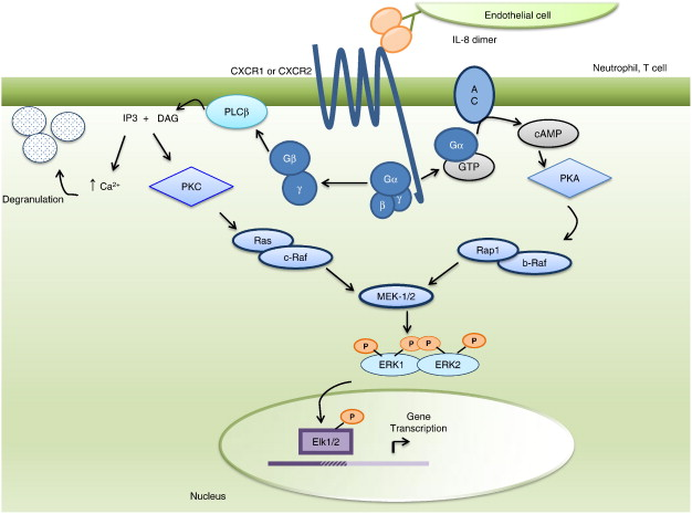 Cytokines and chemokines: At the crossroads of cell signalling and