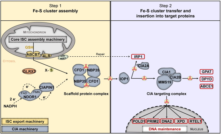 Biogenesis of cytosolic and nuclear iron–sulfur proteins and their