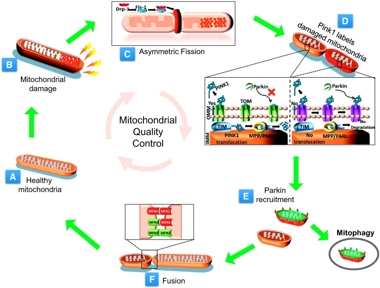 mitochondrial dynamics and viral infections a close nexus