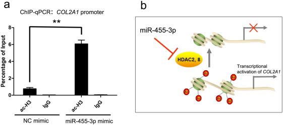 MicroRNA-455-3p modulates cartilage development and degeneration