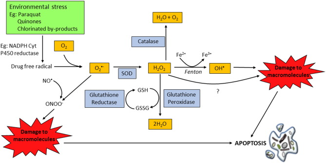 Activation of apoptosis signalling pathways by reactive oxygen