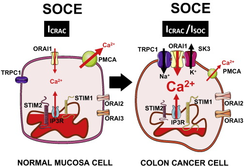 Calcium Remodeling In Colorectal Cancer Sciencedirect