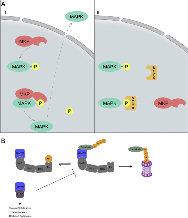 The role of pseudophosphatases as signaling regulators - ScienceDirect