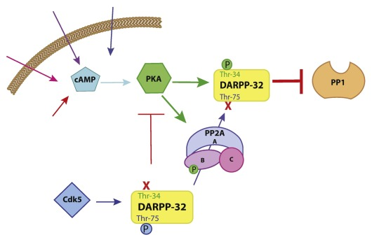 405224ade24519 cAMP regulation of protein phosphatases PP1 and PP2A in brain ...