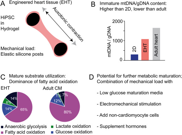 Human pluripotent stem cell-derived cardiomyocytes for studying