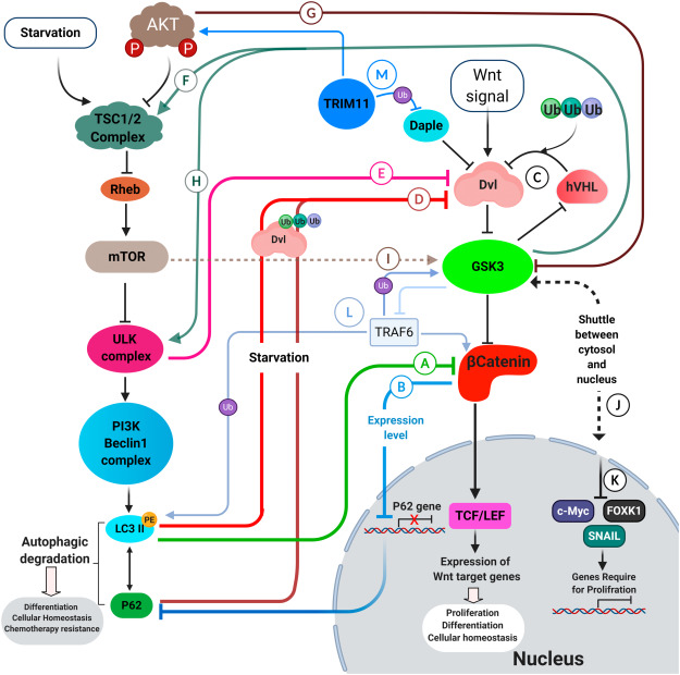 Autophagy And The Wnt Signaling Pathway A Focus On Wnt B Catenin Signaling Sciencedirect