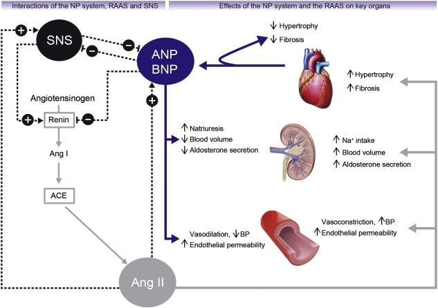 Natriuretic Peptides And Cardio Renal Disease Sciencedirect