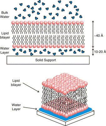 Solid Supported Lipid Bilayers From Biophysical Studies To Sensor