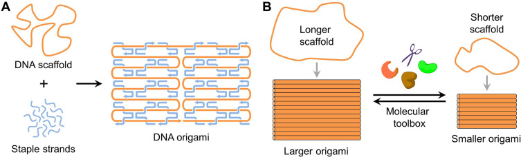 Evolution Of Dna Origami Scaffolds Sciencedirect