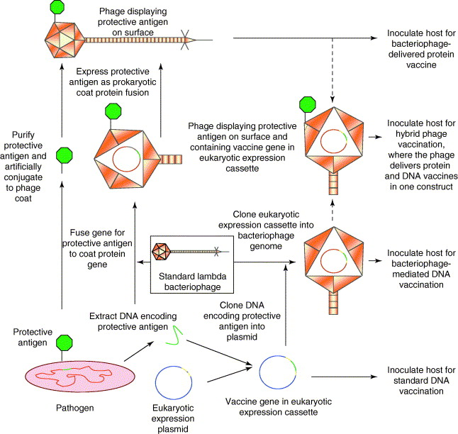Bacteriophages And Biotechnology Vaccines Gene Therapy And