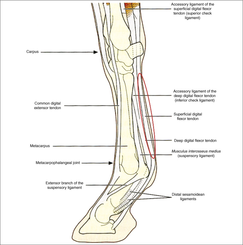Stem Cells In Veterinary Medicine Attempts At Regenerating Equine Tendon After Injury Sciencedirect