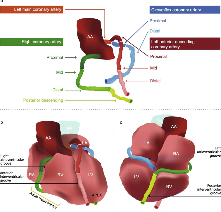 A Cardiac Contouring Atlas For Radiotherapy Sciencedirect