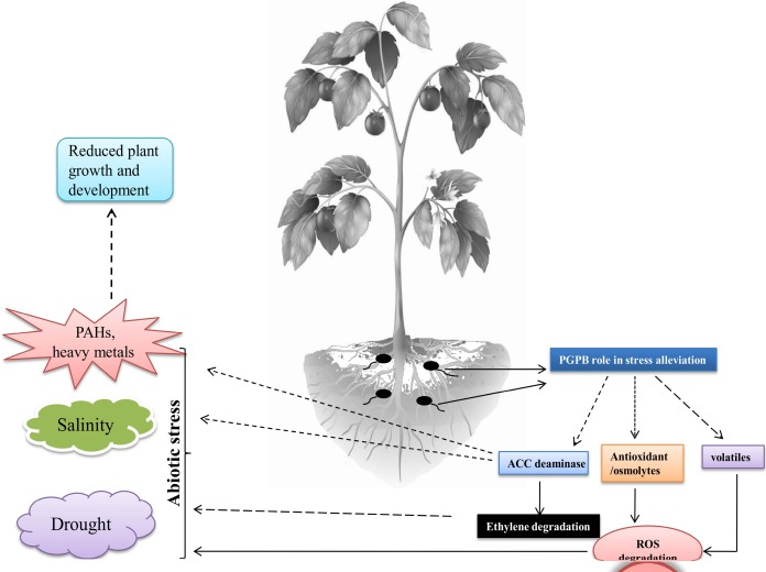 Interaction Of Plant Growth Promoting Bacteria With Tomato Under