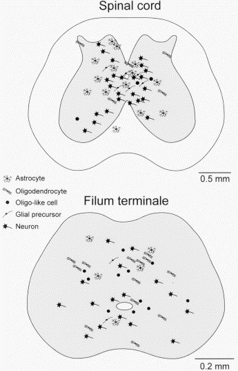 Membrane Currents And Morphological Properties Of Neurons And Glial Cells In The Spinal Cord And Filum Terminale Of The Frog Sciencedirect In tight filum terminale syndrome, the spinal cord is tightly tethered. glial cells in the spinal cord
