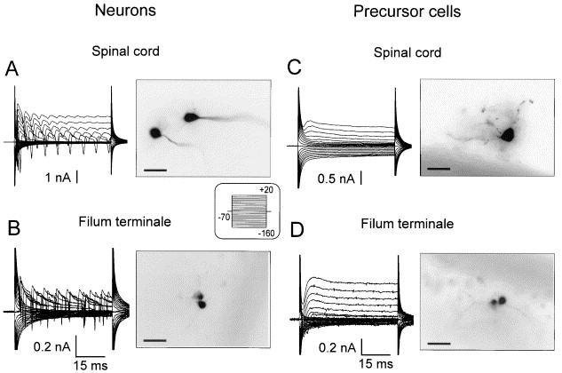 Membrane Currents And Morphological Properties Of Neurons And Glial Cells In The Spinal Cord And Filum Terminale Of The Frog Sciencedirect Neuroscience info for anyone with a brain. glial cells in the spinal cord