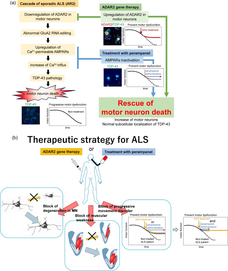 Cell death cascade and molecular therapy in ADAR2-deficient
