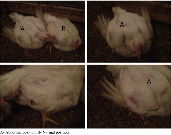 Behavioral changes and feathering score in heat stressed