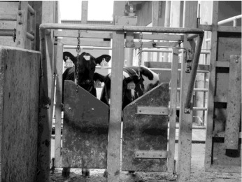 Is rearing calves with the dam a feasible option for dairy