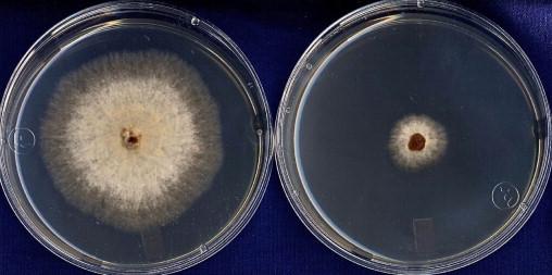 Rhizoctonia en Patata de Siembra