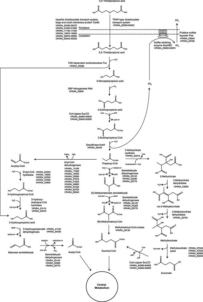 The genome of Variovorax paradoxus strain TBEA6 provides new