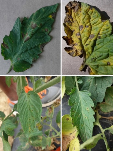 Leaf Disease Detection Using Python