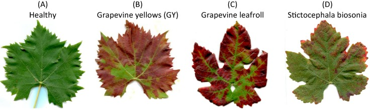 Detection of grapevine yellows symptoms in Vitis vinifera L  with