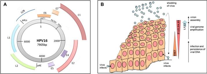 a papillomavirus gene