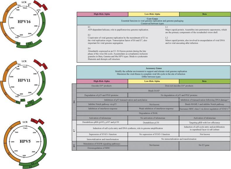 The Low Risk Papillomaviruses