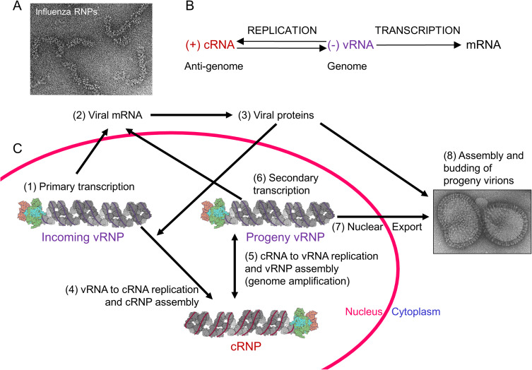 Structural insights into RNA synthesis by the influenza virus ...