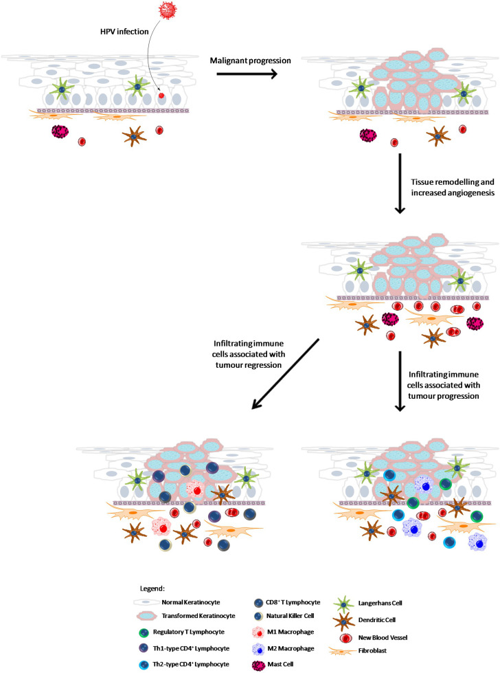 Human papillomavirus infection mice. Human papillomavirus and mice