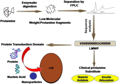 Low molecular weight protamine lmwp a nontoxic protamine download high res image 119kb ccuart Choice Image