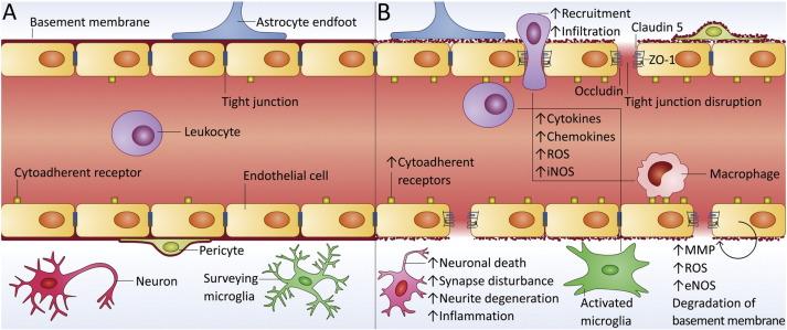 「blood brain alzheimer」の画像検索結果