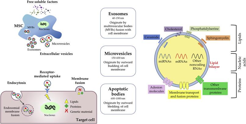 Mesenchymal stem/stromal cell secretome for lung regeneration: The