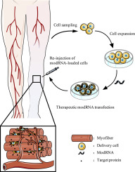 Cell-mediated delivery of VEGF modified mRNA enhances blood