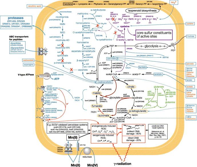 How radiation kills cells  Survival of Deinococcus radiodurans and ... f9fb34058fb
