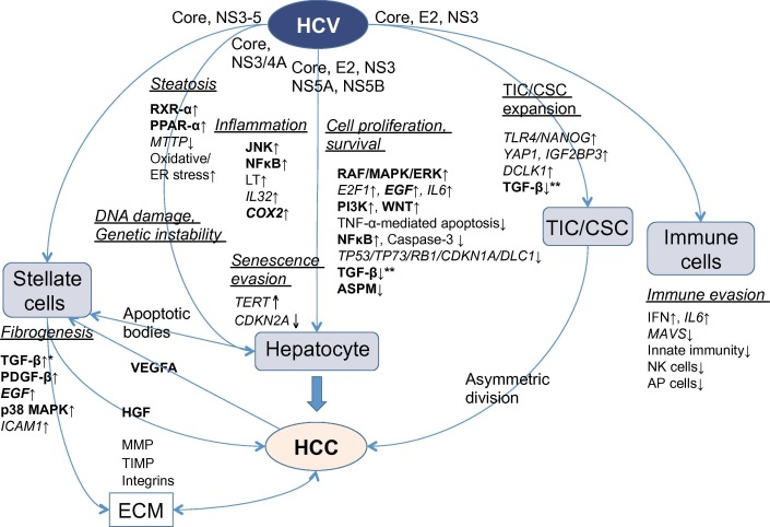 Pathogenesis and prevention of hepatitis C virus-induced