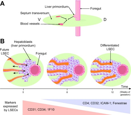 Liver Sinusoidal Endothelial Cells Physiology And Role In Liver