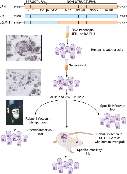 The history of hepatitis C virus (HCV): Basic research