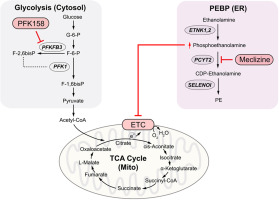 The Phosphatidylethanolamine Biosynthesis Pathway Provides a