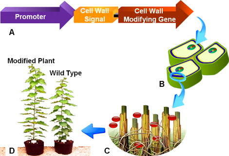 Plant cell wall reconstruction toward improved lignocellulosic modification of plant cell wall components to increase biofuel yields the model describes the outline of recombinant expression of cell wall targeted ccuart Image collections