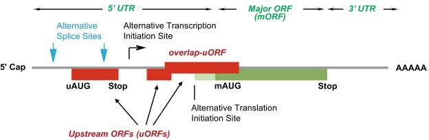 Regulation of plant translation by upstream open reading frames ...