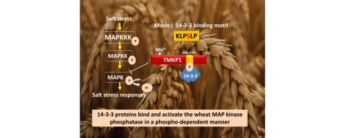 Regulation of the wheat MAP kinase phosphatase 1 by 14-3-3 proteins