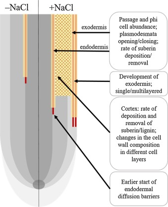 Root Cell Wall Solutions For Crop Plants In Saline Soils Sciencedirect