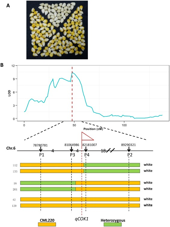 QTL mapping in a maize F2 potion using Genotyping-by ... on marker assisted selection, gene mapping, copy-number variation, test cross, quantitative genetics, genetic linkage, dihybrid cross,