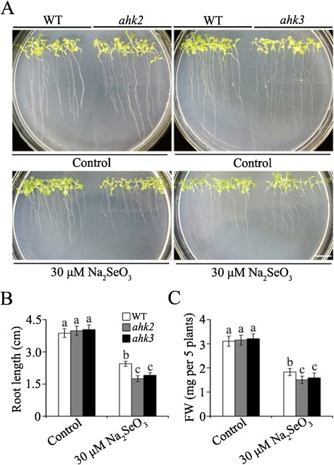 The role of cytokinin in selenium stress response in