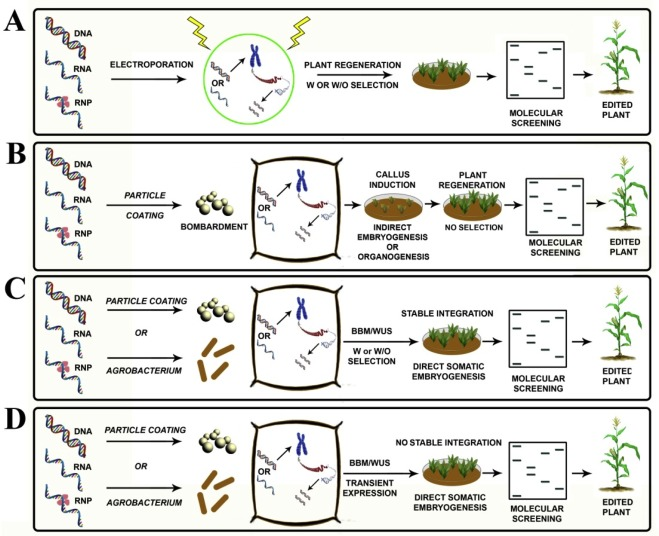 Edit at will: Genotype independent plant transformation in