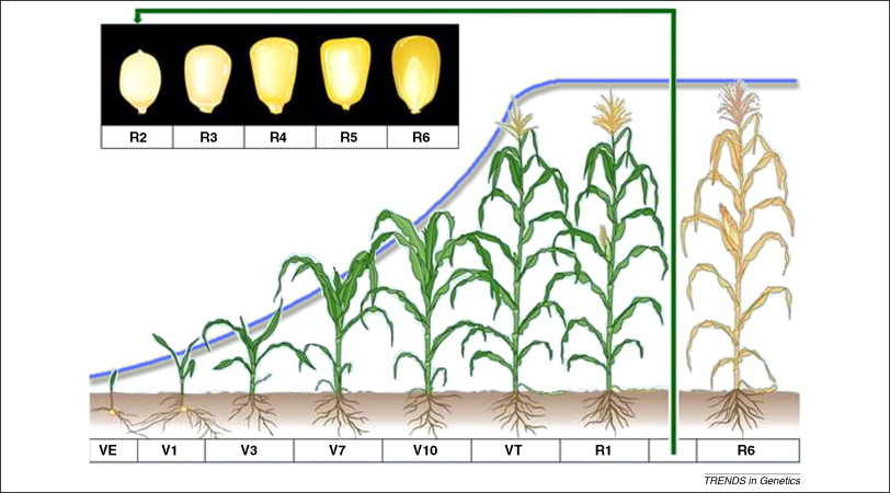 Rice Growth Stages Pdf