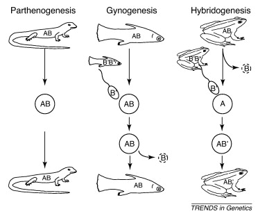 Parthenogenesis and asexual reproduction example