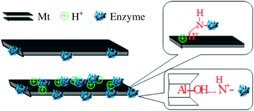 immobilization of enzymes on clay minerals for biocatalysts and rh sciencedirect com